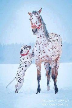 Seeing spots - leopard Appaloosa and Dalmatian © Pavlova P. Horses And Dogs, Cute Horses, Horse Love, Horse Photos, Horse Pictures, Animal Pictures, All The Pretty Horses, Beautiful Horses, Animals Beautiful