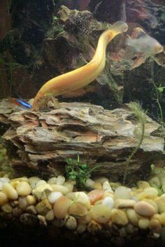 Img 0291 Dwarf Puffer Fish Betta Fish Aquarium