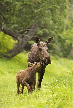 Moose calf... Mom, I love you