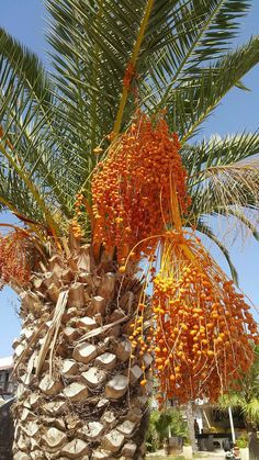 Fruit And Veg, Fruits And Vegetables, Fresh Dates, Beautiful Fruits, Create A Recipe, Watercolor Trees, Life Form, Exotic Plants, Horticulture