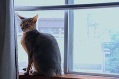 BLUE , Abyssinian Cat.