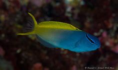 The Yellowtail Fang Blenny: a venomous blenny Also known as the Forktail Blenny, Meiacanthus atrodorsalis (Perciformes - Blenniidae), is a distinctively colored fish that has an enormous curved,...