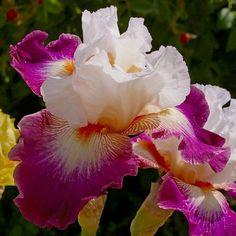 Iris Cayeux - Spécialiste des iris pour votre jardin