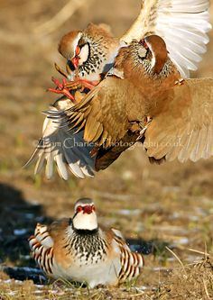 Red-legged Partridges scrap it out