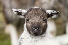 A lamb near Colt Crag reservoir in Northumberland. what a face! : >-