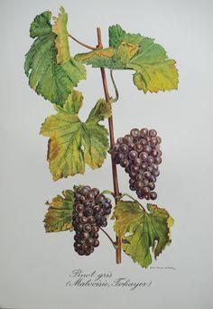 Malvoisie / Pinot gris / Tokayer
