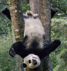 Panda acrobat