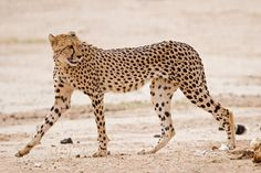Cheetahs are built for extreme speed and agility. Much lighter in weight than other big cats, cheetahs have narrow, rangy bodies with very long legs. All four paws leave the ground when they're running, and they can cover 20 feet in a single bound.