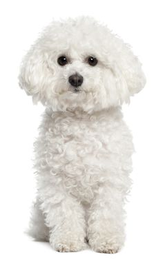 10 Surprising Facts About The Bichon Frise