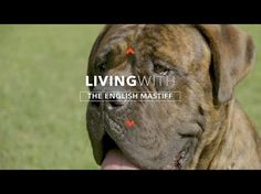 ALL ABOUT LIVING WITH ENGLISH MASTIFFS - https://www.dressmypup.net/2017/02/18/all-about-living-with-english-mastiffs/ #cutepuppies #funnydogs #cuteanimals #funnyanimals #puppies