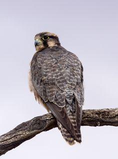 Lanner Falcon  (Falco biarmicus)  Lannerfalke | South Africa 02/2014 Kgalagadi Transfrontier Park
