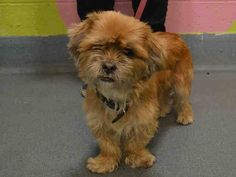 Brooklyn Center   ALEXA aka CHELSEA - A1019951   FEMALE, BROWN, SHIH TZU MIX, 5 yrs STRAY - ONHOLDHERE, HOLD FOR ID Reason STRAY  Intake condition EXAM REQ Intake Date 11/07/2014, From NY 11207, DueOut Date 11/10/2014,   Medical Behavior Evaluation GREEN  Medical Summary Scanned positive: AVID*034*119*084 Intact female, approx 2 yrs old mild gingivitis and tartar underbite applied activyl bar friendly and allowed handling  Weight 13.2