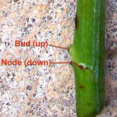 HOW TO Propagate Rose Stem Cuttings : 4 Steps (with Pictures) - Instructables Propogate Roses, Pruning Roses, Rose Cuttings, Plant Cuttings, Rose Propagation, Plant Pots, Rose Bush Care, Rose Care, Rooting Roses