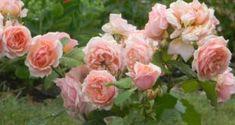 Тля на розах как бороться народными средствами Plants, Flowers, Hostas, Azalia, Rose, Garden
