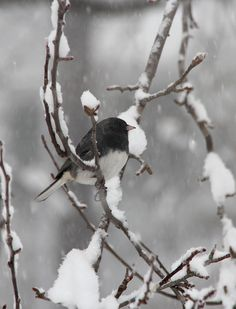 Little Junco in the snow...don't see much of them here in Georgia, but had tons of them in VA. Cute little birds