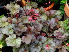 Tűzgyöngyvirág (Heuchera) gondozása - olvasói tanácsok » Balkonada Plants, Plant, Planets