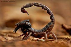 Scorpion_Desert