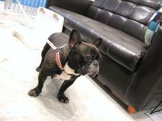 Ms.Otohime, French Bulldog ❤