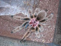 The Grammostola rosea (Chilean Rose Tarantula) is the most commonly kept, bred and imported species in the hobby today. The Chilean Rose is . Rose Hair Tarantula, Pet Tarantula, Cool Insects, Bugs And Insects, Beautiful Creatures, Animals Beautiful, Pet Spider, Exotic Pets, Spinning