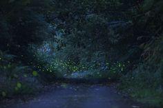 Fireflies12 Fireflies in the Forest