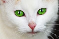 Tier, Katze, Häuslich, Auge, Augen