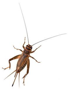 Get rid of crickets cricket and paper products How to get rid of crickets in the garden
