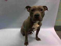 PULLED BY IMAGINE PET RESCUE - 01/23/16 - TO BE DESTROYED - 01/23/16 - ***ABANDONED*** - FRANCHIE - #A1062835 - Urgent Brooklyn - FEMALE GRAY/WHITE PIT BULL MIX, 2 Yrs - STRAY - NO HOLD Reason ABANDON - Intake 01/13/16 Due Out 01/16/16 - CAME IN WITH ONYX #A1062834 - ALLOWS ALL HANDLING