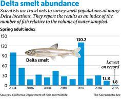 Critical index finds smelt nearly extinct in Sacramento Delta | The Sacramento Bee