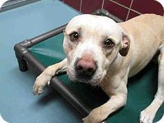 Houston, TX - Pit Bull Terrier Mix. Meet JAYJAY a Dog for Adoption.