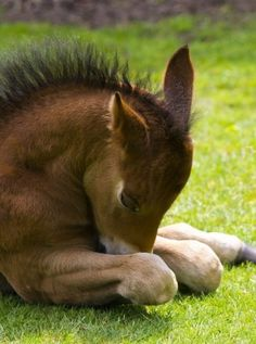 Baby horse laying down with his nose tucked in, so sweet!