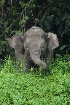 "libutron: "" burning-soul: "" Young Borneo Pygmy Elephant by Daniel Trim on Flickr. "" Elephas maximus borneensis - Endangered species """