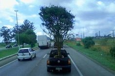 Infração de Trânsito: motorista do DF é flagrado carregando árvore em pickup +http://brml.co/1ShLvRD