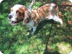 NOT ONLY SAFE....BUT ADOPTED!!! (BY ME ..BARBARA COOK SHELTON...PINNED HIM...KEPT COMING BACK TO HIM...WENT TO LOOK AT HIM....FELL IN LOVE...)Troy, IL - English Springer Spaniel/Cocker Spaniel Mix. Meet Jheri, a dog for adoption.