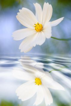 Cosmea Flower with Reflection