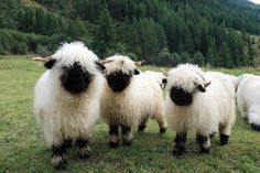 Valais Blacknose Sheep from Switzerland.  Leave it to Switzerland to have the cutest sheep ever!
