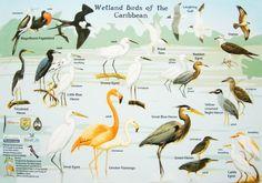 Wetland Birds of the Caribbean