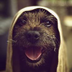 a happy border terrier ... photo by rwthwaites