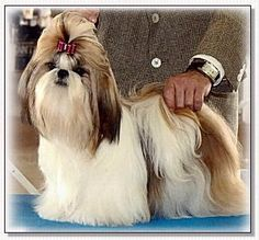 "Shih Tzu-CH Zephyr Golden Chemise "" Honey """