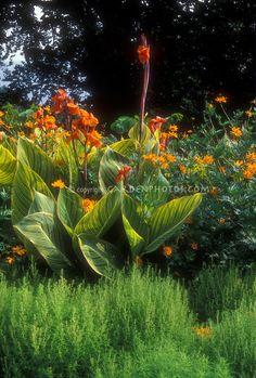 Canna x generalis 'Praetoria' (Bengal Tiger)   Plant & Flower Stock Photography: GardenPhotos.com