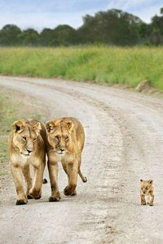Lion family by myrajosa