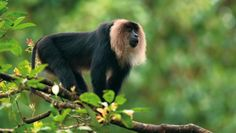 Another amazing sight from the forests of Kerala, India Primates, Mammals, Wildlife Of India, Evergreen Forest, Interesting Animals, Flora And Fauna, Travel And Tourism, Endangered Species, Old World