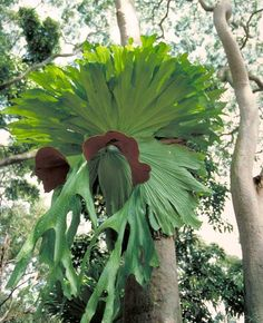 Staghorn fern, Platycerium superbum