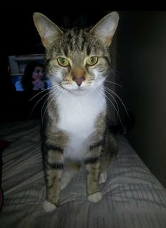 Lost Cat - Domestic Short Hair - Oakville, ON, Canada L6M 0G7