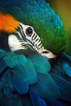 Photo about Shaming blue and gold macaw (Ara ararauna). Image of colour, yellow, ararauna - 9773838 Tropical Birds, Exotic Birds, Colorful Birds, Exotic Pets, Cute Birds, Pretty Birds, Beautiful Birds, Animals Beautiful, Nature Animals