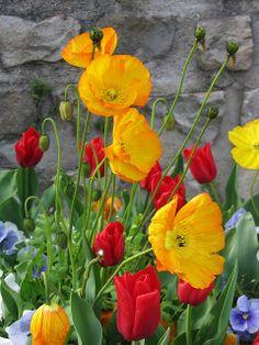 Poppies, Antony France