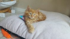 Maine Coon kitten red tabby blotched
