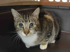 CHOWDER – A1105297 - 2yrs  FEMALE, BRN TABBY / WHITE, DSH - CHOWDER AND PANINI CAME IN TOGETHER AND NEED HOMES!