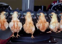 Debeaking infant chicks destined to an existence of confinement as egg layers. Why Vegan, Vegan Vegetarian, Vegan Animals, Farm Animals, Photo Choc, Vegan Facts, Factory Farming, Stop Animal Cruelty, Food Industry