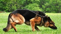 Canine Training: Tracking and Converting Internet Marketing Leads – Watch our video! German Shepherd Training, German Shepherd Puppies, German Shepherds, Basic Dog Training, Training Dogs, Puppy Trainer, Search And Rescue Dogs, Famous Dogs, German Shorthaired Pointer