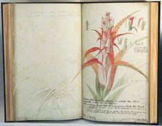 These are a couple of images of sketchbooks by Georg Dioysius Ehret (1708 - 1770). who was regarded by many as the best botanical artist of his day - which was during the golden age of botanical art.  He was responsible for recording many of the newly discovered and exotic plants and flowers brought back to the UK from expeditions overseas.  Georg Dionysius Ehret was a German-born artist who became one of the most influential botanical artists of all time through his development of t